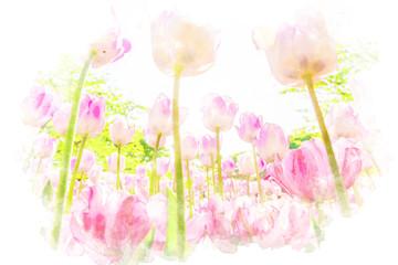 チューリップ畑 Tulips. Illustration of watercolor painting style.