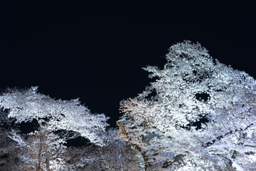 (京都)夜桜