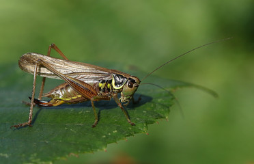A Roesel's Bush-cricket (Metrioptera roeselii) perched on a leaf.