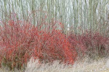 Arbustos de rosal silvestre con frutos rojos. Rosa canina.