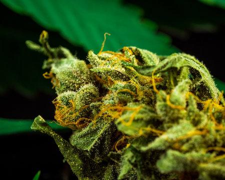 Cannabis Bud Close-Up on black Background. Macro Marijuana. Selective Focus. Copy Space.