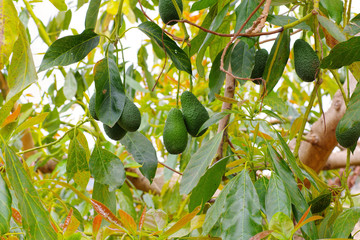 Avocado am Baum - many fresh avocado fruits on the tree