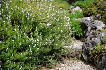 Thymian (Thymus vulgaris) Gewürzstrauch im Garten