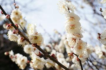 flowers of Wax plum