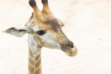 The giraffe eats leaves