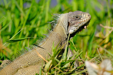 Green Iguana, Iguana Iguana, also known as the American Iguana, Pantanal, Porto Jofre, Mato Grosso, Brazil