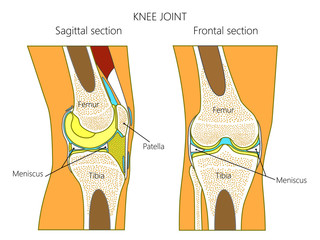 Vector illustration. Anatomy of a healthy knee joint, sagittal and frontal section of the knee. For advertising and medical publications