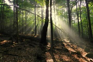 Obraz prześwity słońca w lesie, drzewa - fototapety do salonu