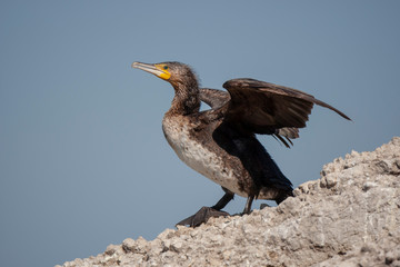 Great Cormorant Birds