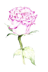 Pink rose watercolor painting - Illustration.