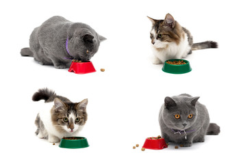 different cats eat food from a bowl on a white background