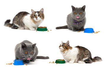 Cats eat food from a bowl on a white background