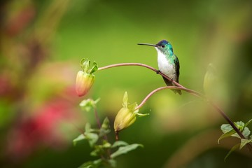 Western emerald sitting on branch, hummingbird from tropical forest,Colombia,bird perching,tiny beautiful bird resting on flower in garden,colorful background with flowers,nature scene,wildlife