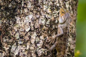beautiful chameleon on wood