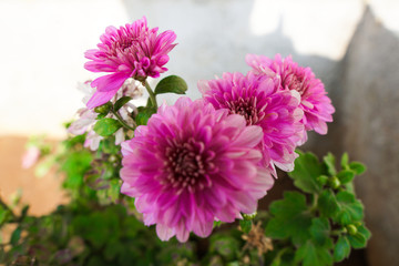 Purple, pink,red, cosmos flowers in the garden with white background