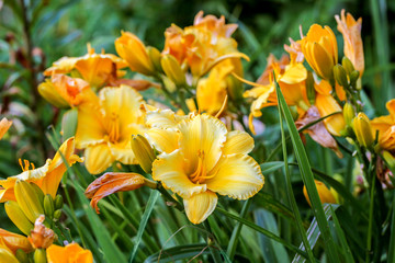 Blooming cultivar daylily in the summer garden