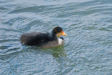 Baby Coot chick