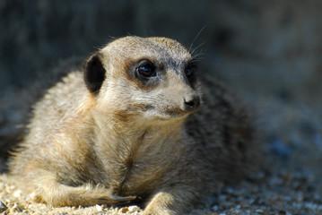 Cute Meerkat portrait