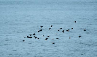 Black Scoter flock