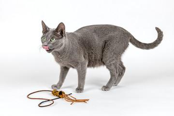 Katzen-Russisch-Blau-16250