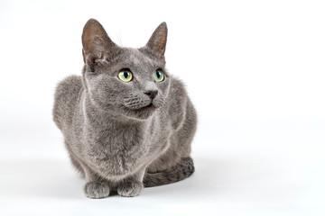 Katzen-Russisch-Blau-16245
