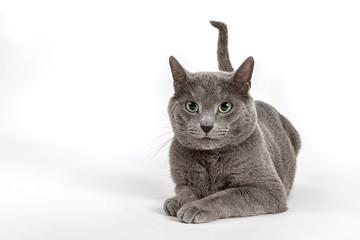 Katzen-Russisch-Blau-16549