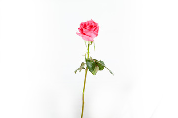 Color rose isolated on white background