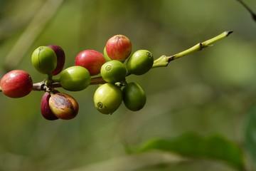 colorful coffee berries