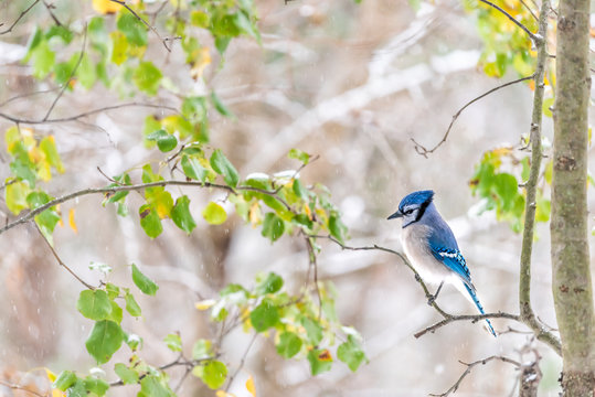 Closeup side of one cute blue jay Cyanocitta cristata bird perched on tree branch during autumn spring green leaves snow rain in Virginia