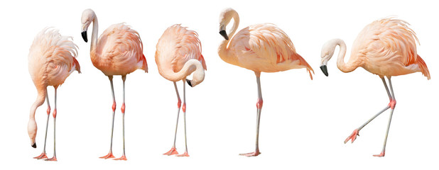 Foto auf Leinwand Flamingo isolated on white five flamingo