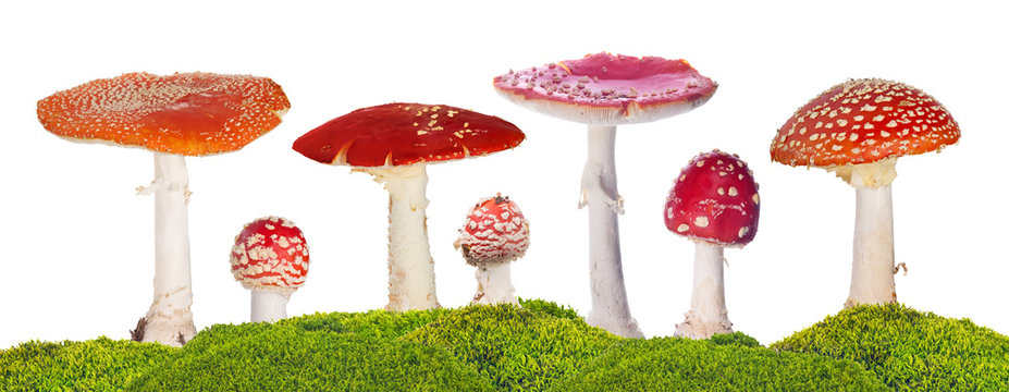 seven fly agarics in green moss isolated on white