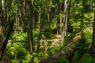 Beautiful Sunlit Forest in Summer. Campbell River, BC, Canada.