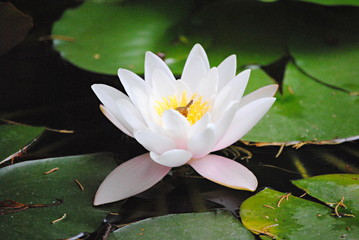 Fototapeta Lotus obraz