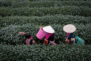 Hmong family walking together in green tea plantation in the morning time this is lifestyle people on the mountain Chiang Mai Thailand.