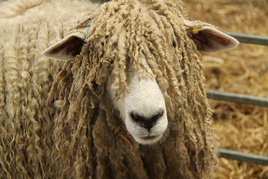 The Face of a Large Lincoln Longwool Farm Sheep.