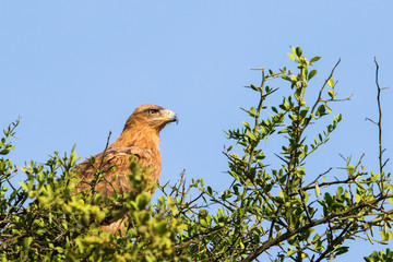 Tawny eagle sitting in a treetop