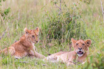 Lion Cubs in the savannah in Africa