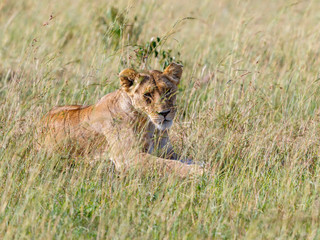 Wild Lioness lying down in the grass at the savanna and looking at camera