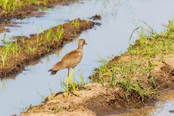 Wattled lapwing walking at a mudflats