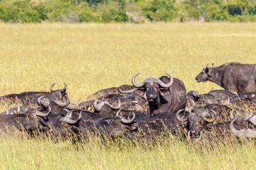 Herd of African Buffalos on the savanna in Masai Mara