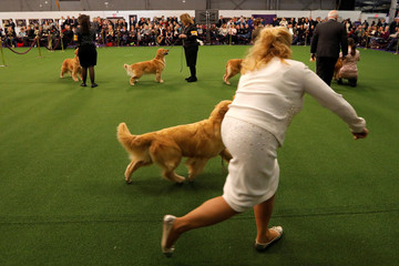Golden Retrievers are run in the ring during judging in the Sporting group at the 143rd Westminster Kennel Club Dog Show in New York