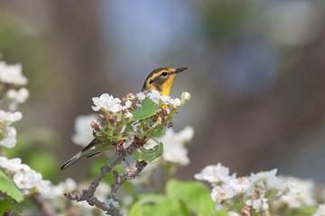 Blackburnian warbler in an apple blossoms