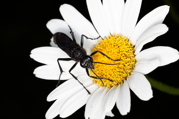 Great Black Wasp on a Daisy