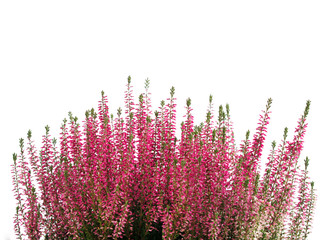 Heather flower background isolated on white