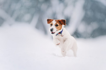 Smart Jack Russell terrier is running on snow path