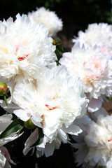 white peonies in the garden