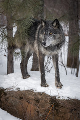 Fototapete - Black Phase Grey Wolf (Canis lupus) Stands on Rock Paw Forward Winter