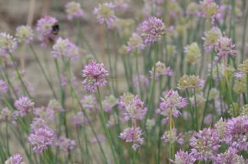 Blooming Allium globosum