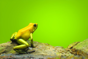Poison Dart Frog - Dendrobates with copy space. Animals and wildlife theme.