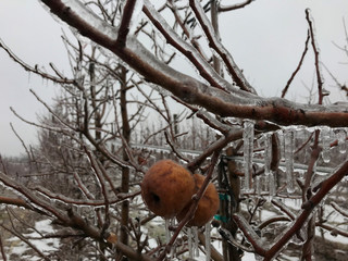 Apples are encased in ice in an orchard following an ice storm in Sparta, Michigan